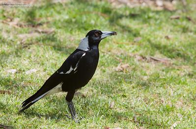Gymnorhina tibicen - Australian Magpie
