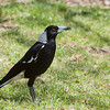 Australian Magpie - tibicen ssp