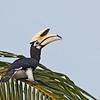 Oriental Pied Hornbill - convexus ssp