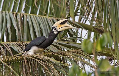 Bucerotidae - Hornbills