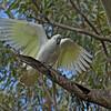 Sulphur-crested Cockatoo  - galerita ssp