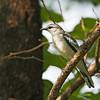 Pied Triller - nigra ssp