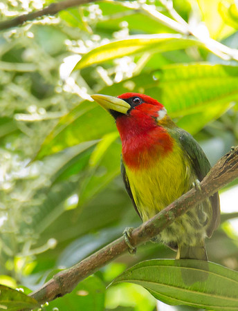 Eubucco bourcieri - Red-headed Barbet