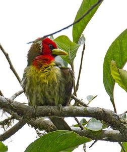Capitonidae - New World barbets