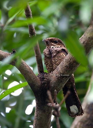 Caprimulgus manillensis - Philippine Nightjar
