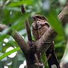 Philippine Nightjar
