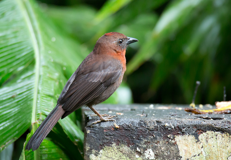 Red-throated Ant Tanager - fuscicauda ssp