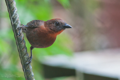 Habia fuscicauda - Red-throated Ant Tanager