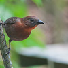 Red-throated Ant Tanager - discolor ssp