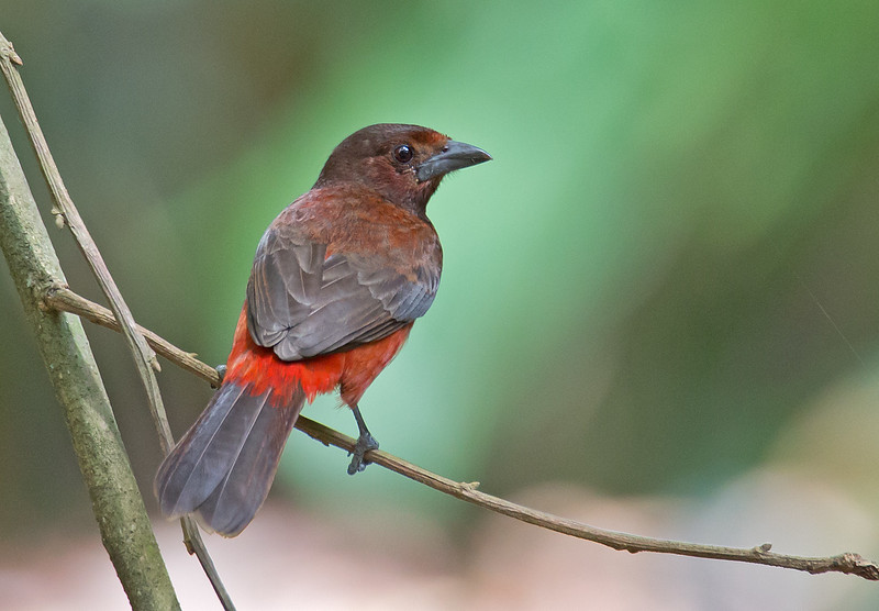 Red-throated Ant-tanager - discolor ssp