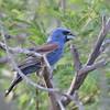 Blue Grosbeak - salicaria ssp