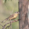 Black-headed Grosbeak - maculatus ssp - female