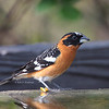 Black-headed Grosbeak - maculatus ssp