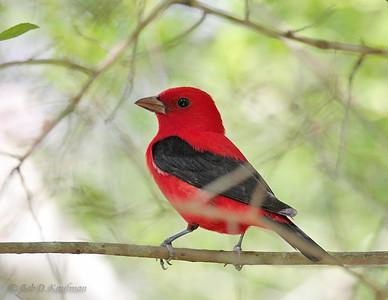 Piranga olivacea - Scarlet Tanager