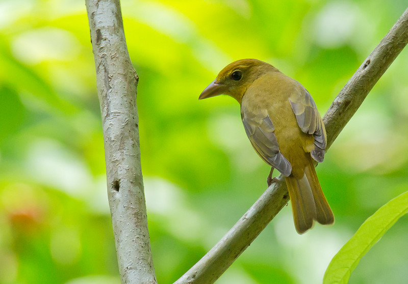 Summer Tanager - rubra ssp - female