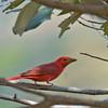 Summer Tanager - rubra ssp