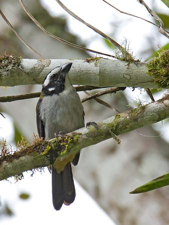 Saltator atripennis - Black-winged Saltator