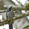Black-winged Saltator - caniceps ssp