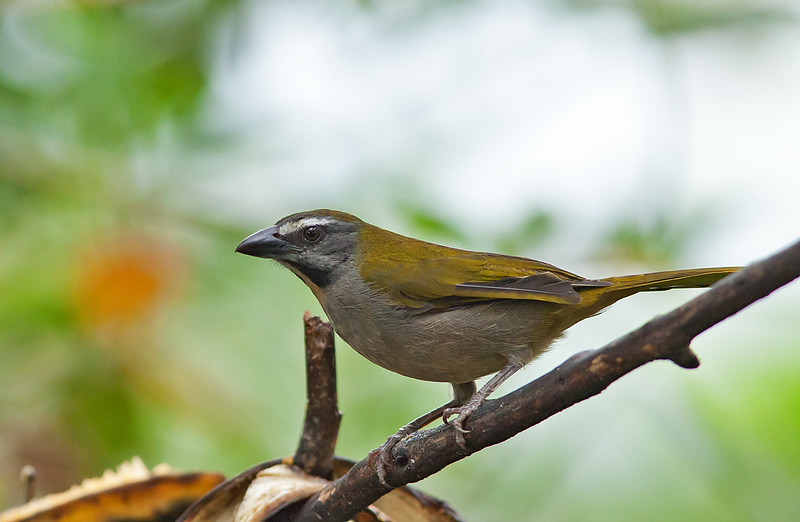 Buff-throated Saltator - maximus ssp