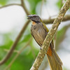 Buff-throated Saltator - lungens ssp