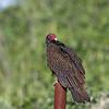 Turkey Vulture - aura ssp