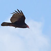Turkey vulture - ruficollis ssp
