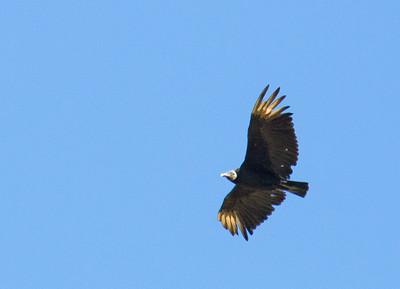 Coragyps atratus - Black Vulture