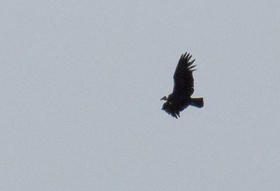Vultur gryphus - Andean Condor
