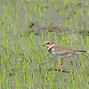 Little Ringed Plover - curonicus ssp