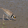 Little Ringed Plover - dubius ssp