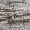 Little Ringed Plover - curomicus ssp (?)