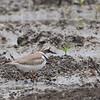 Little Ringed Plover - dubius ssp