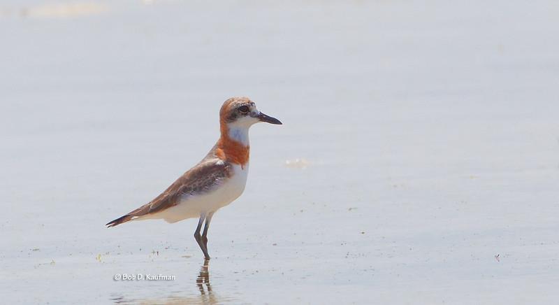 Greater Sand Plover - leschenaultii ssp