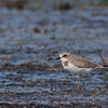 Lesser Sand Plover - mongolus ssp