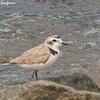 Snowy Plover - nivosus ssp