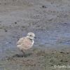 Snowy Plover - nivosus ssp - chick