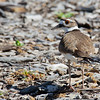 Killdeer - vociferus ssp