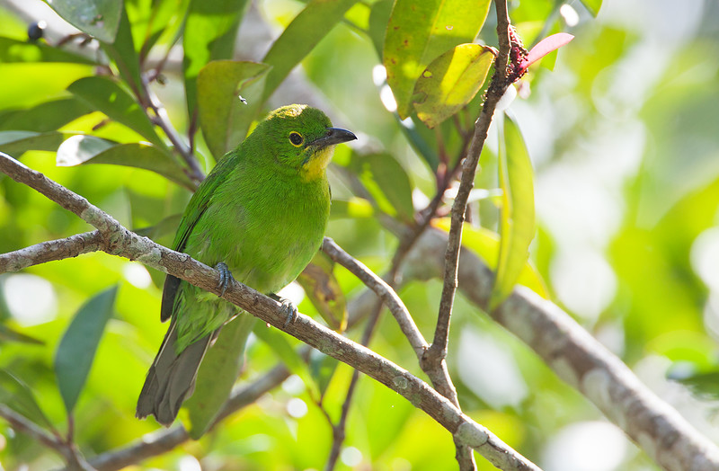 Greater Green Leafbird - zosterops ssp - female