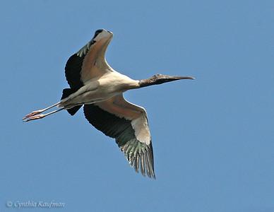 Ciconiidae - Storks