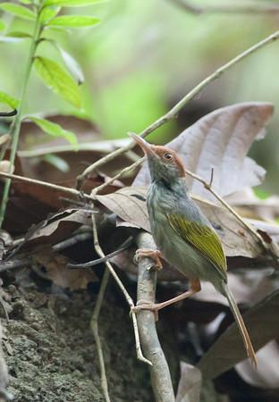 Orthotomus derbianus - Grey-backed Tailorbird