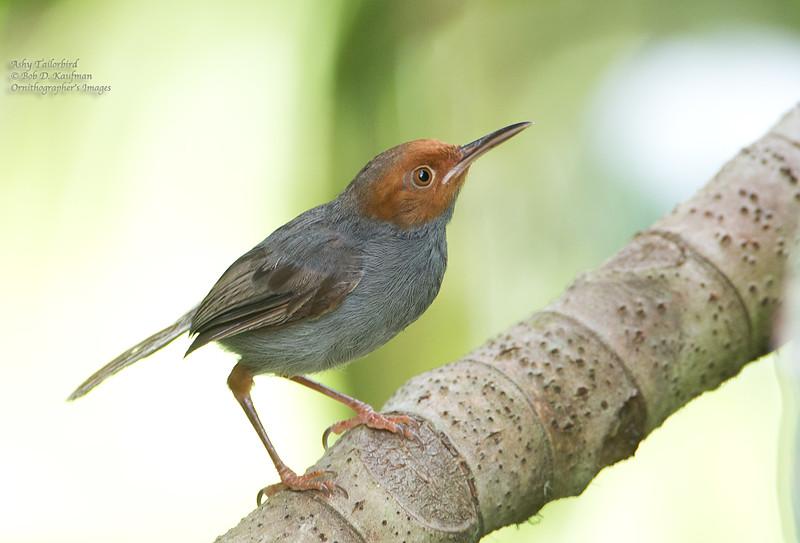 Ashy Tailorbird - borneoensis ssp