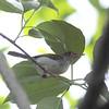 Ashy Tailorbird - cineraceus ssp