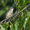Yellow-bellied Prinia - latrunculus ssp