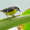 Bananaquit - intermedia ssp