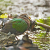 Common Emerald Dove - indica ssp - female