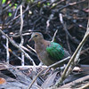 Common Emerald Dove - indica ssp
