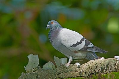 Columba livia - Rock Dove