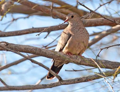 Columbina passerina - Common Ground Dove