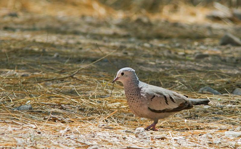 Common Ground Dove - pallescens ssp