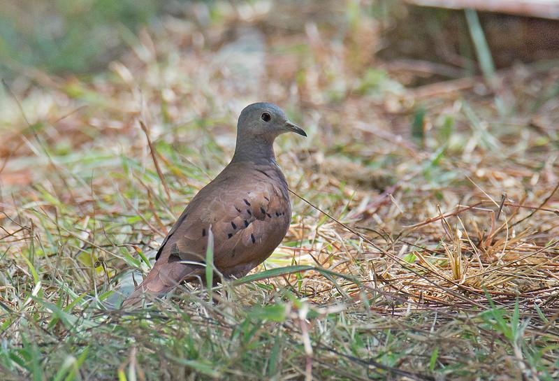 Ruddy Ground Dove - rufipennis ssp